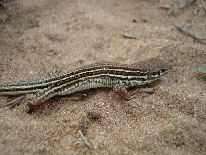 Nueva especie de lagarto encontrada