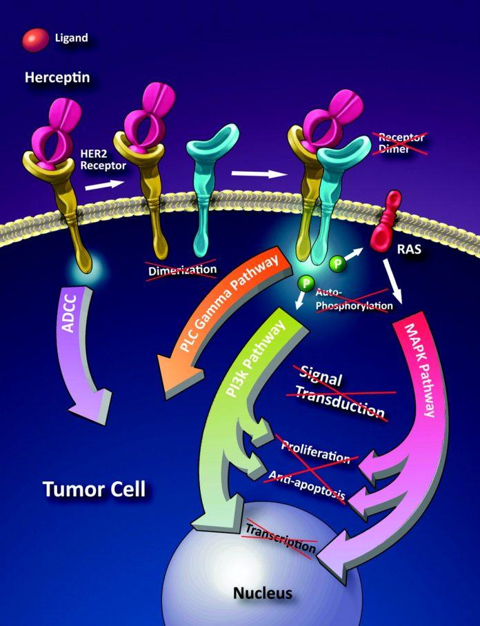 Investigaron sobre la efectividad terapéutica del Herceptin en algunos tipos de cáncer