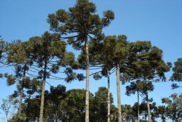 """Araucaria angustifolia o """"pino paraná"""" es un árbol nativo del norte de Argentina y sur de Brasil, considerado en peligro crítico de extinción."""