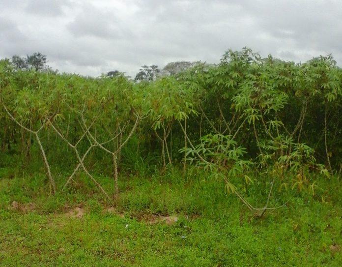 El proyecto avanzó en identificar tierras aptas para el cultivo de mandioca en la provincia de Corrientes.