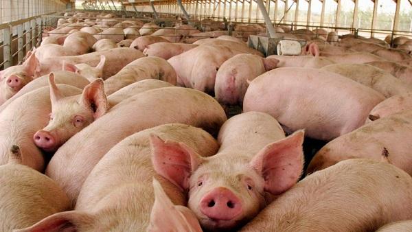 Riesgo de enfermedades con la cría industrial de animales
